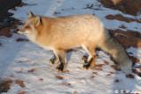 Fox (DSC_8817)
