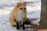 Fox (DSC_9432)
