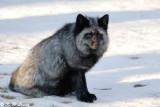 Fox (DSC_9455)