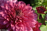 Chrysanthemum 25