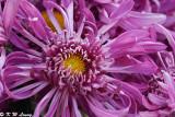 Chrysanthemum 24