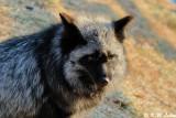 Fox (DSC_9469)