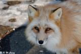 Fox (DSC_9444)