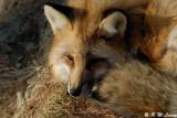Fox (DSC_9450)