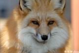 Fox (DSC_9435)