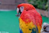 Scarlet Macaw 03
