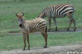 Zebra (DSC_8055)