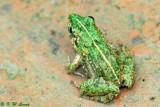Frog (DSC_0651)