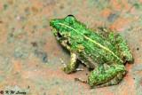 Frog (DSC_0652)