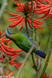 Orange-bellied Leafbird 07
