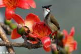 Red-whiskered Bulbul DSC_4807