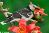 Black-collared starling DSC_4852