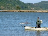 The dolphins and fisherman work together to corral fish