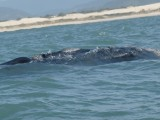 Here is the back of a right whale!