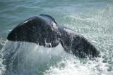 Right whale tale; Photo credit: Vida Sol e Mar