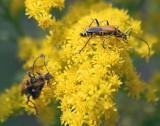 Bugs On Goldenrod 16744