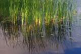 Sunstruck Marsh Grass 17245
