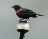 Red-winged Blackbird Alit On A Light 17355