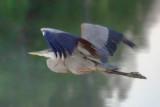Dawn Heron In Flight 17574
