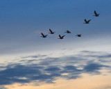 Dawn Geese Flyby 17379