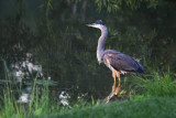 Heron By The River Bank 17572