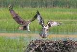 Two Osprey Confrontation 17743