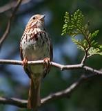 Song Sparrow 17429