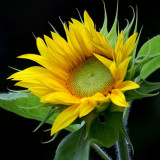 Sunflower 17436
