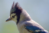Blue Jay With Raised Crest 18013Bc
