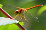 Red Dragonfly 17960