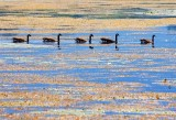 Geese In A Row 18513