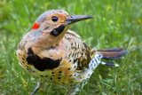 Yellow-shafted Flicker 18764
