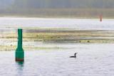 Cormorant In The Scugog River 18774