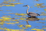 Heron In A Pond 19082-1