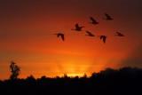 Geese & Sunrise Sunrays 20080901