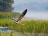 Heron In Flight 18975