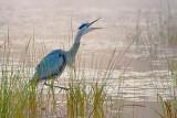 Heron Squawking 20080902