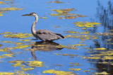 Heron In A Pond 19082-2