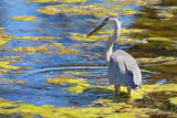 Heron With A Catch 19071