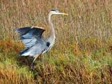Great Blue Heron 32172