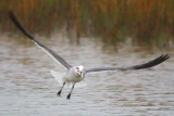 Squawking Gull In Flight 33474