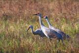 Sandhill Cranes 36260