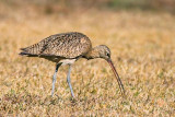 Long-billed Curlew 37288