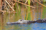 American Alligator 37552