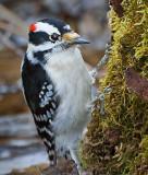 Woodpecker 20090420