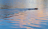 Beaver Swimming 20090423