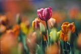 Canadian Tulip Festival Galleries