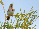 Song Sparrow Singing 20090501