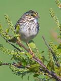 Savannah Sparrow 48433