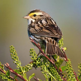 Savannah Sparrow 48438
